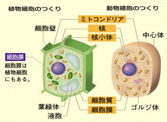 動物細胞・植物細胞のつくりとミトコンドリア