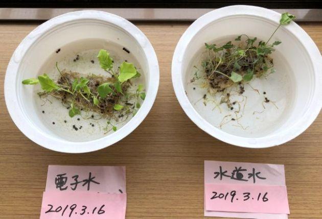 かいわれ大根の実験で水枯れ2日後の比較