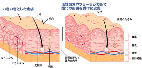 いきいきとした皮膚/活性酸素やフリーラジカルで参加の影響を受けた皮膚
