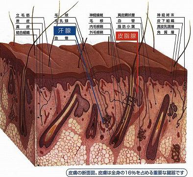 皮膚の断面図。皮膚は全身の16%を占める重要な臓器です
